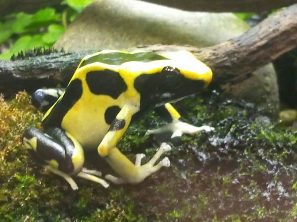 File:Poison dart frog.jpg