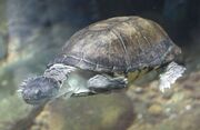 Helmated turtle