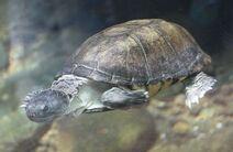 Helmated turtle
