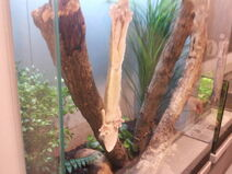 Leaf-tailed gecko-177719