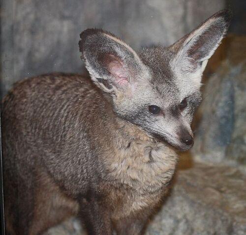 File:Bat eared fox.jpg