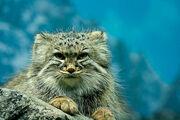 Pallas cat cin zoo