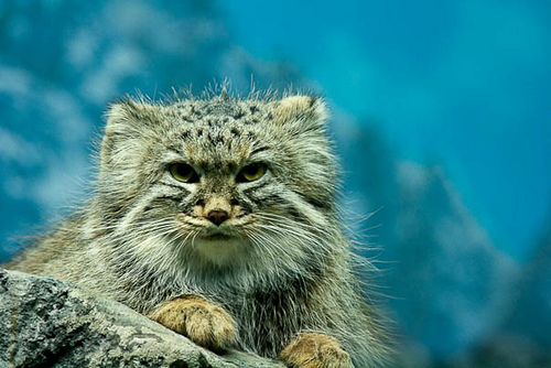 File:Pallas cat cin zoo.jpg