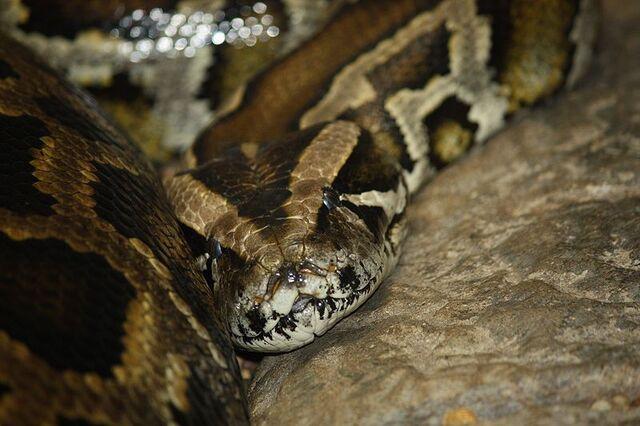 File:Python.jpg