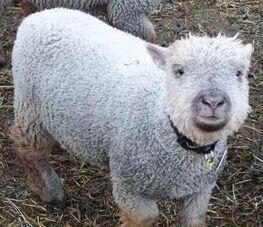 Doll sheep