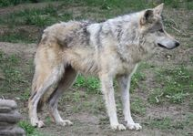 Mexican wolf 1