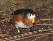 Pygmy goose