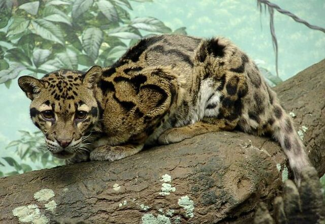 File:Leopards.jpg