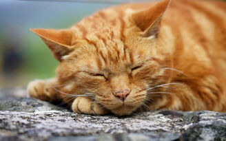 Ginger cat - rowl
