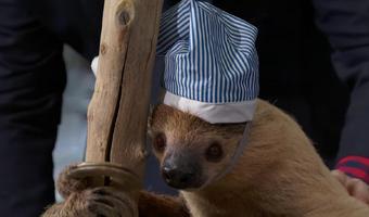 Nightcap Sloth2