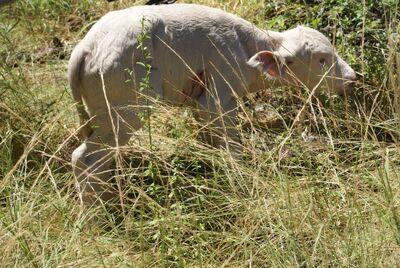 AlbinoBuffel
