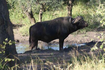 BuffelBul