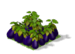 Eggplant Fruit
