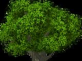 Giant Oak Tree