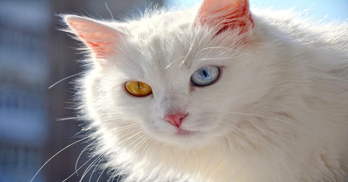 Картинки разноглазой кошки