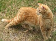 Ginger-cat-stripes