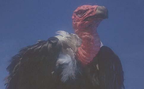 Clash Of The Titans 1981 Pegasus