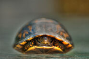 800px-Baby Turtle