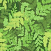 Fabric Ferns icon