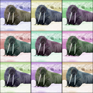 Walrus Pop Art