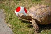 Turtle Shroom