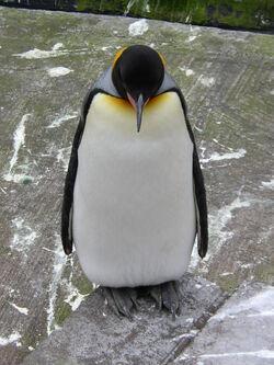 Natural Penguin - IMPORT-9563