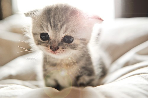 image extremely cute kitten large jpg club penguin pookie wiki