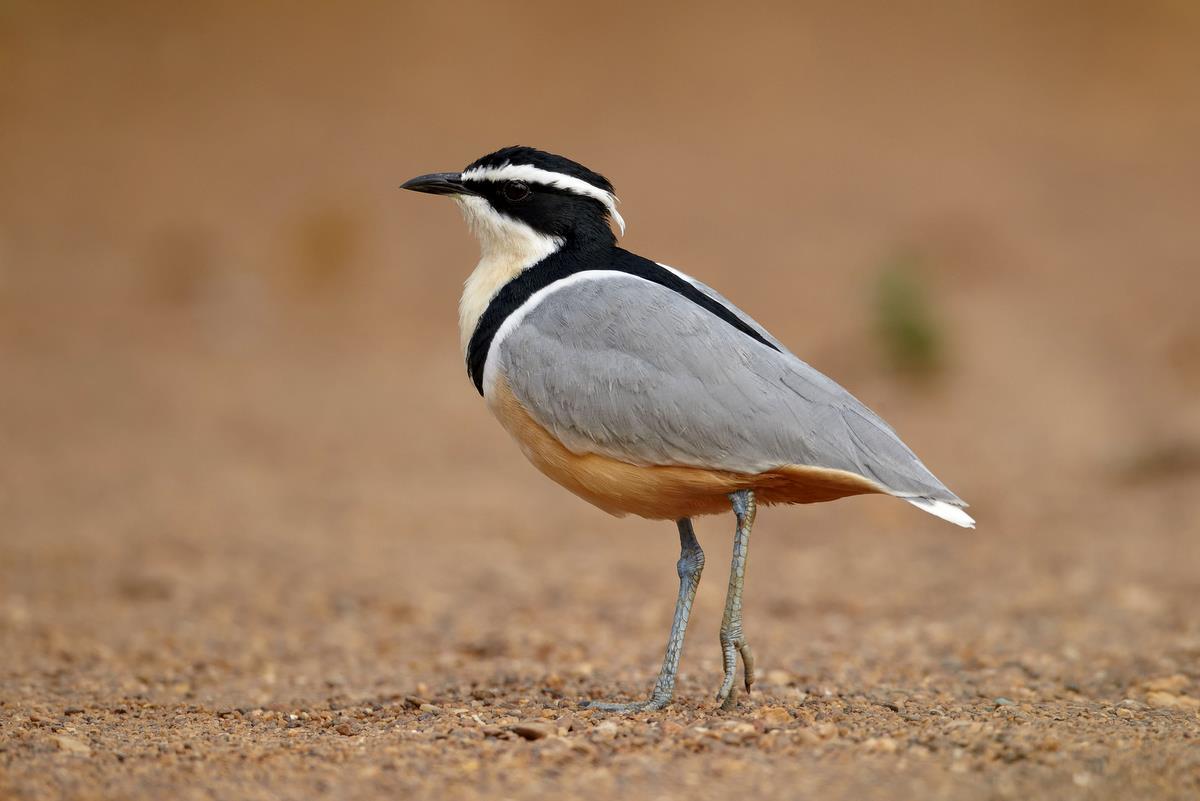 Egyptian Plover | Cartoon Network Animals Wiki | Fandom