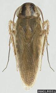 220px-Blattella asahinai the Asian cockroach - adult 05