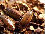 Pacific Beetle cockroach
