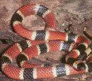 Serpiente de coral centroamericana