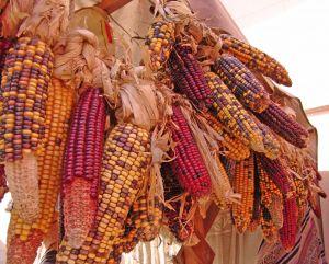 487526 maize