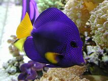 Purple-tang-for-sale