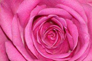 File:1017112 pink rose 3.jpg
