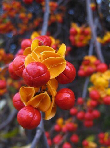 File:Bittersweet Flower.jpg