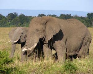 1024261 african elephant