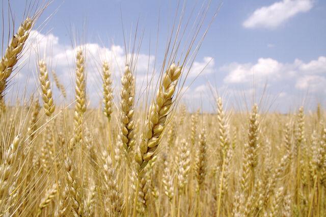 File:Wheat-748.jpg