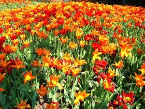 File:838862 poppies from belgium.jpg