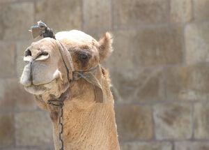 Camel-2133