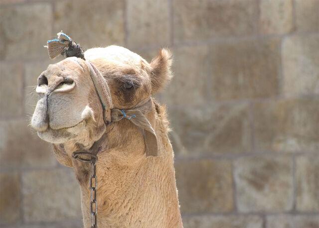 File:Camel-2133.jpg
