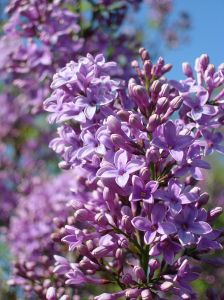 758689 lilac