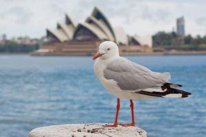 File:1023881 seagull in sydney.jpg