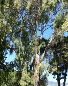 File:679746 big eucalyptus .jpg