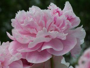 551984 pink carnation