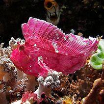 Leaf-fish-red-taenianotus-triacanthus 1024x1024