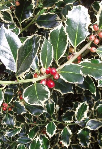 File:Variagated+Holly+Detail-6925.jpg