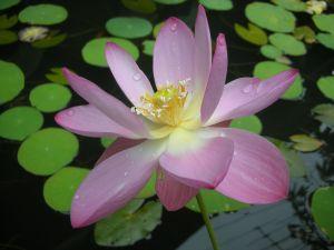 File:1024976 lotus.jpg