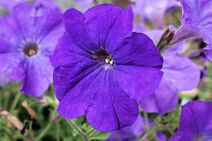Petunia-purple-1024x682