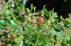 1045100 gooseberries