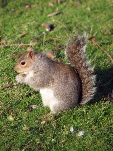 951353 eastern gray squirrel